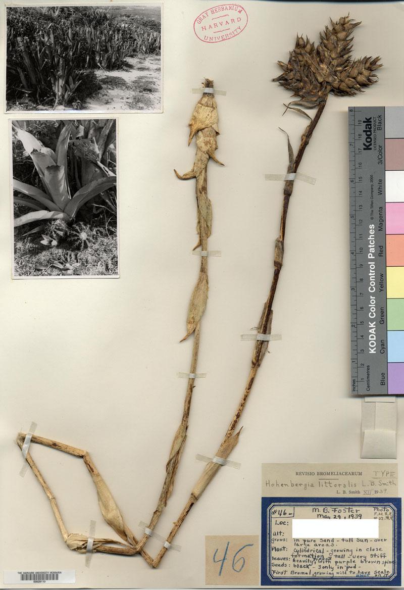 H.littoralis_holotype_GH_w